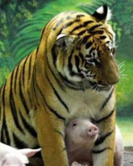 tiger20pigs2061