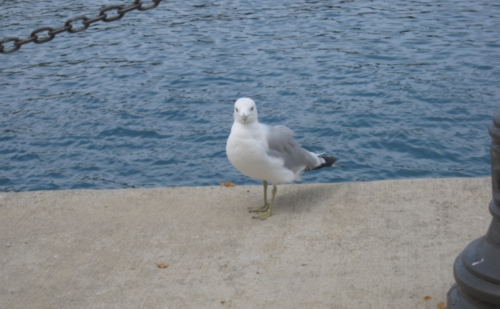 navy pier bird